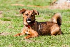 Perro callejero del perro basset Fotografía de archivo libre de regalías