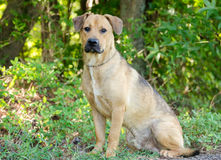 Perro callejero del perro del laboratorio Foto de archivo libre de regalías