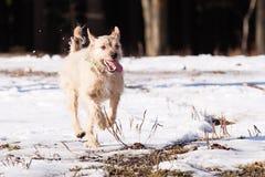 Perro callejero del terrier de frontera Imagenes de archivo