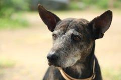 Perro callejero viejo Foto de archivo libre de regalías