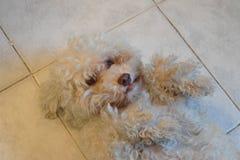Perro - caniche Fotos de archivo