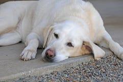 Perro cansado Fotografía de archivo