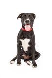 Perro cansado de la cruz de Labrador Fotografía de archivo libre de regalías
