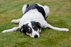 Perro cansado de la granja Imagen de archivo
