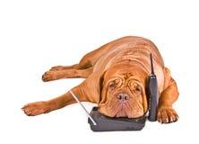 Perro cansado de llamadas de teléfono Imágenes de archivo libres de regalías