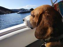 Perro cansado del beagle que descansa sobre el sofá del apartamento fotos de archivo libres de regalías