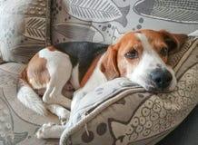 Perro cansado del beagle que descansa sobre el sofá del apartamento foto de archivo libre de regalías