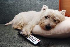 Perro cansado del wstie con un control remoto foto de archivo libre de regalías