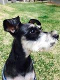 Perro Carrie Fotografía de archivo