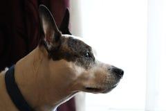 Perro casero Imágenes de archivo libres de regalías