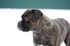 Perro casero al aire libre en cara preocupante de la pizca de la nieve Foto de archivo