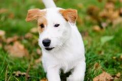 Perro casero blanco lindo de Jack Russell Terrier con la mancha blanca /negra marrón Fotos de archivo