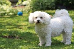Perro casero de Havanese en césped sombrío del patio trasero Imagenes de archivo
