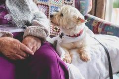 Perro casero de la terapia en el sofá al lado de la persona mayor en el retiro con referencia a fotografía de archivo libre de regalías