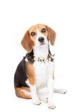 Perro casero del beagle Fotografía de archivo libre de regalías