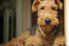 Perro casero del oso de peluche de Airedale Terrier ~ rey de los terrieres imagenes de archivo