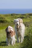 Perro casero del perro perdiguero que encuentra a un nuevo amigo Fotografía de archivo