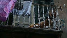 Perro casero devoto que miente en el balcón solo y que espera su amo del trabajo almacen de metraje de vídeo