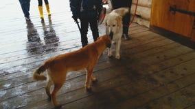 Perro casero en la reunión del correo y del perro perdido en la muchedumbre, oliendo uno otro, animales metrajes