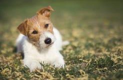 Perro casero feliz sano que escucha en la hierba con los oídos divertidos foto de archivo