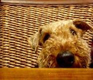 Perro casero grande lindo que pide la comida en la tabla imagen de archivo