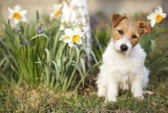 Perro casero lindo divertido que se sienta con las flores de Pascua en primavera fotos de archivo