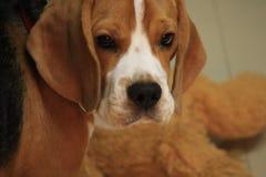 Perro casero nombrado y x22; Genius& x22; foto de archivo