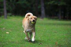 Perro casero que corre con la bola imagen de archivo