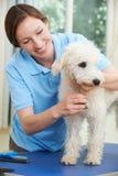Perro casero que es preparado profesionalmente en salón Foto de archivo libre de regalías