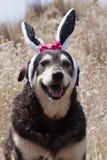 Perro casero vestido para arriba en oídos del conejito de pascua foto de archivo