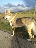 perro checoslovaco del lobo fotografía de archivo