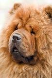 Perro chino Fotos de archivo