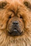 Perro chino Imagen de archivo libre de regalías
