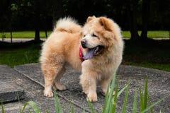 Perro chino de Chow en el parque fotografía de archivo libre de regalías
