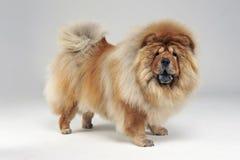 Perro chino de Chow que permanece en el estudio blanco foto de archivo libre de regalías