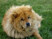 Perro chino de Chow que pone en la hierba foto de archivo