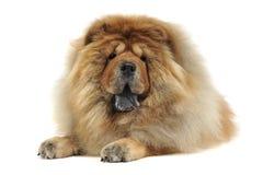 Perro chino de Chow que se relaja en un estudio blanco del fondo fotografía de archivo