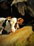 Perro chino de la vaca imagen de archivo libre de regalías