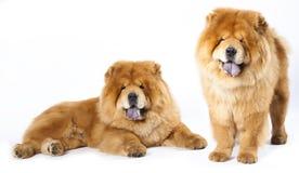 Perro chino de perro chino Foto de archivo libre de regalías