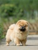 Perro chino de perro chino Imágenes de archivo libres de regalías