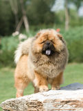 Perro chino de perro chino del animal doméstico del perro Foto de archivo libre de regalías