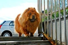 Perro chino de perro chino rojo que vive en ciudad europea Foto de archivo