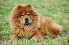Perro chino rojo Foto de archivo libre de regalías