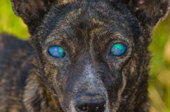 Perro ciego Fotografía de archivo