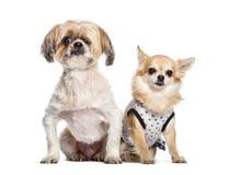 Perro ciego de la Mezclado-raza foto de archivo