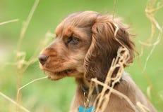 Perro, cocker spaniel Foto de archivo libre de regalías