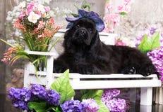 perro Cocker Spaniel en sombrero entre las flores o foto de archivo libre de regalías