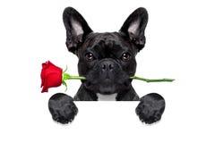 Perro color de rosa de las tarjetas del día de San Valentín Fotografía de archivo libre de regalías