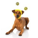 Perro como abeja Imagen de archivo libre de regalías