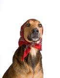 Perro como el lobo disfrazó como poco capo motor de montar a caballo rojo Imagen de archivo libre de regalías